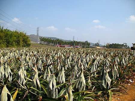 パイナップル畑・・・葉っぱをしばって果実を直射日光から守る
