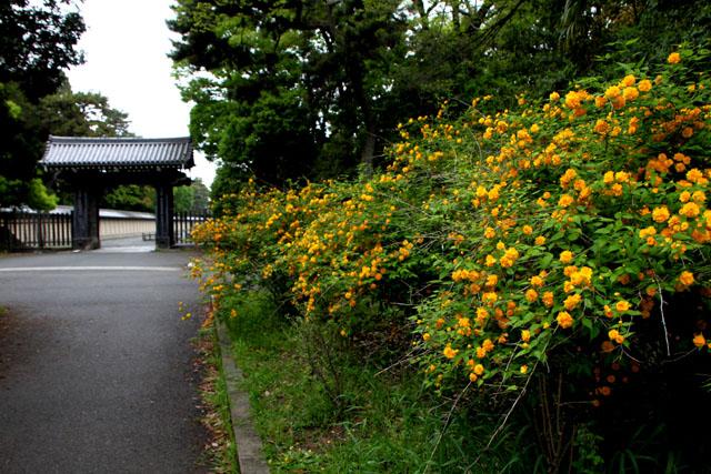 京都御苑のヤマブキ満開_e0048413_9301430.jpg