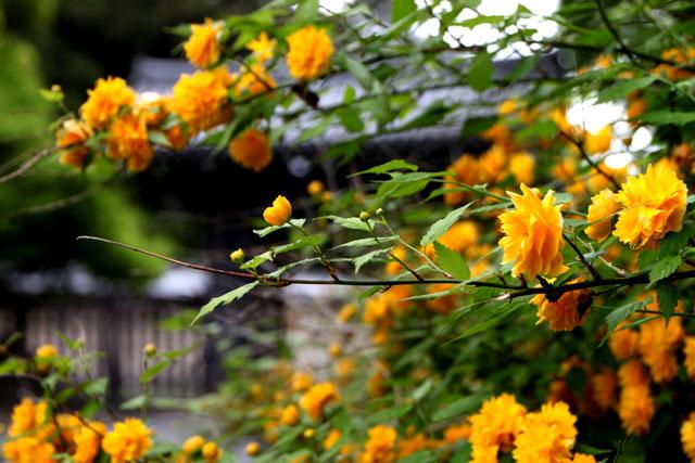 京都御苑のヤマブキ満開_e0048413_9302662.jpg