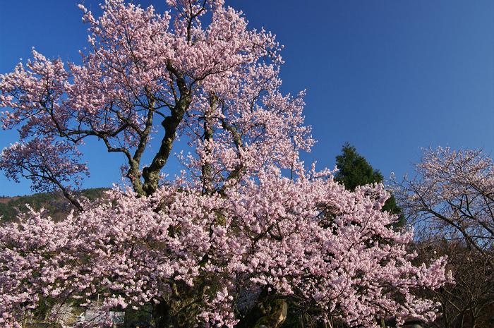 清水の桜(しょうずのさくら)_f0155048_1025875.jpg