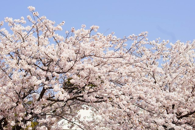 桜と大仏 @鎌倉_b0145398_17475164.jpg