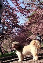 心あたたまるセントラルパークの桜のトンネルへ_b0007805_9212869.jpg