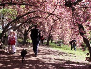 心あたたまるセントラルパークの桜のトンネルへ_b0007805_9213988.jpg