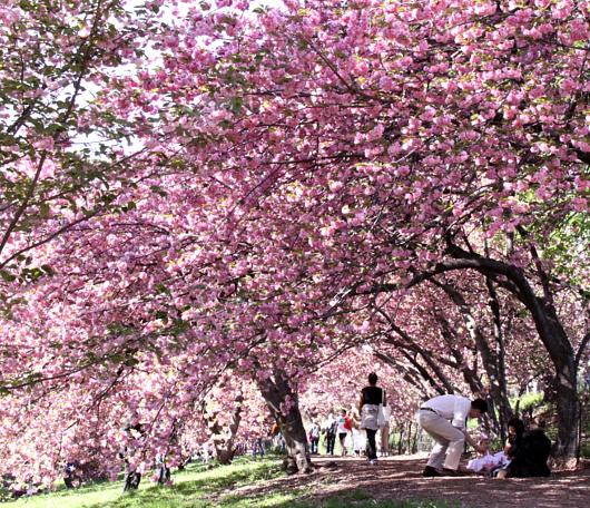 心あたたまるセントラルパークの桜のトンネルへ_b0007805_9215372.jpg