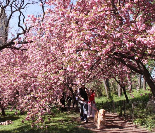 心あたたまるセントラルパークの桜のトンネルへ_b0007805_9221719.jpg