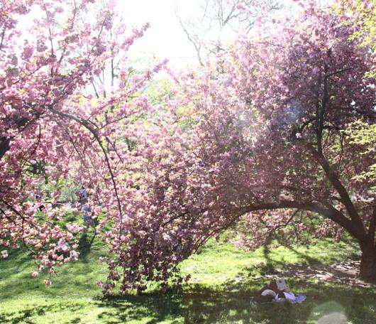 心あたたまるセントラルパークの桜のトンネルへ_b0007805_9223010.jpg