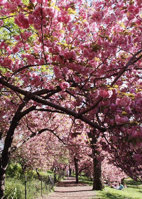 心あたたまるセントラルパークの桜のトンネルへ_b0007805_9235367.jpg