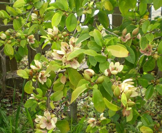カラタネオガタマの花はバナナの香り!_f0139333_8342814.jpg