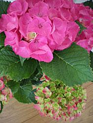 season of hydrangea_b0195783_1142448.jpg