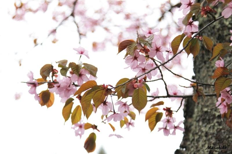 葉桜_f0091207_1455542.jpg