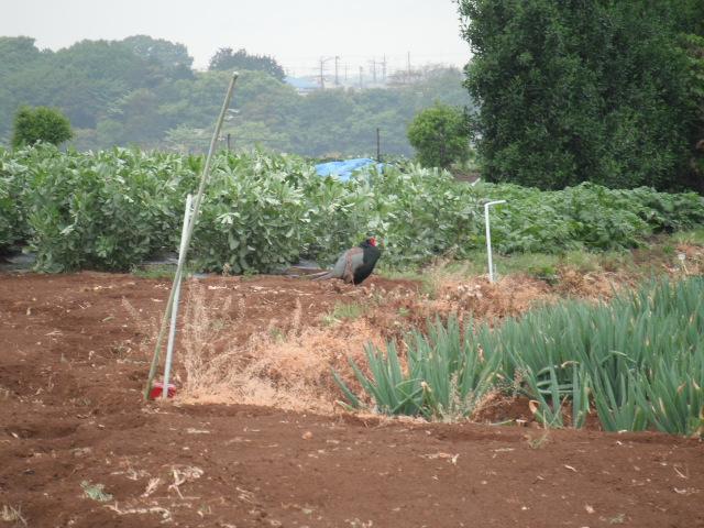 畑に行く途中で・・・雉・・_c0222448_11593351.jpg