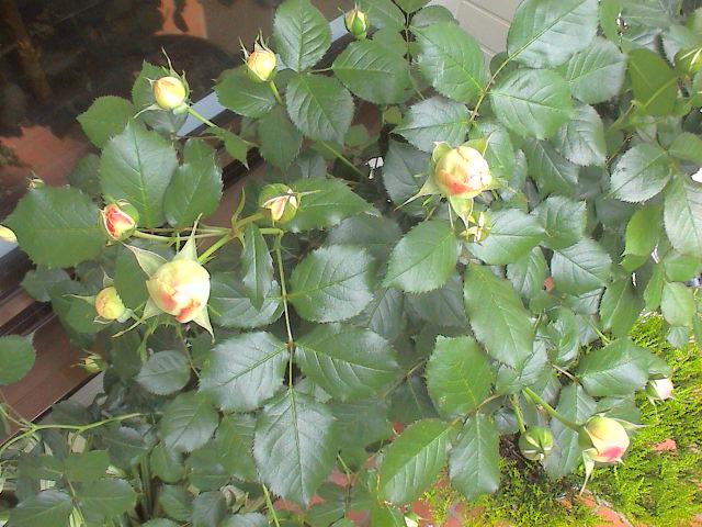 5月の薔薇。_e0060555_20184815.jpg