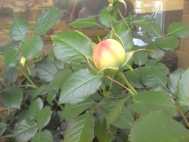 5月の薔薇。_e0060555_20214774.jpg