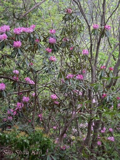 シャクナゲ尾根の石楠花 2011年5月_a0164068_16305555.jpg