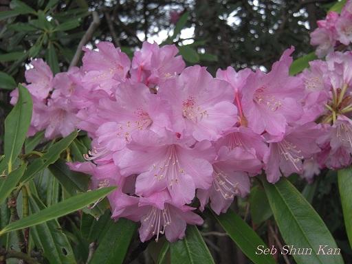 シャクナゲ尾根の石楠花 2011年5月_a0164068_16314153.jpg