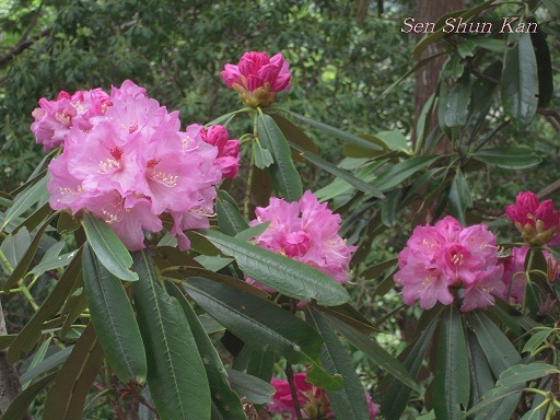シャクナゲ尾根の石楠花 2011年5月_a0164068_1641080.jpg