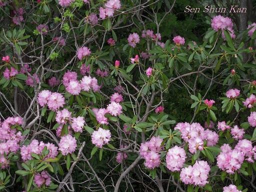 シャクナゲ尾根の石楠花 2011年5月_a0164068_16411788.jpg