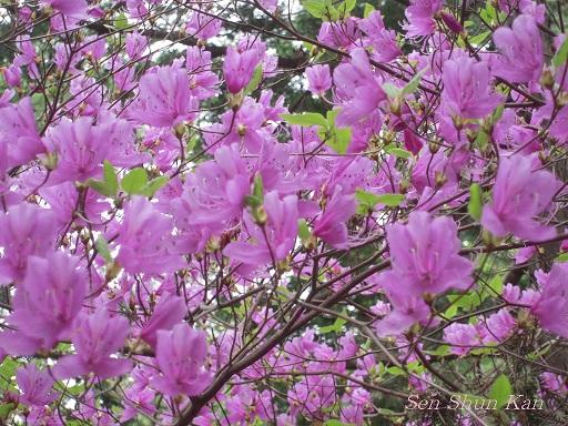 シャクナゲ尾根の石楠花 2011年5月_a0164068_1642792.jpg