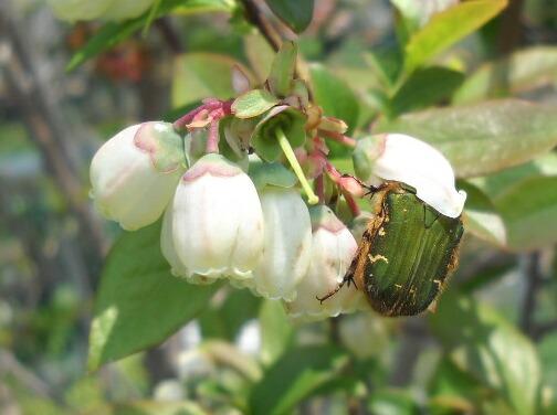 ブラデンの蜜を吸うハナムグリ_f0018078_18474432.jpg