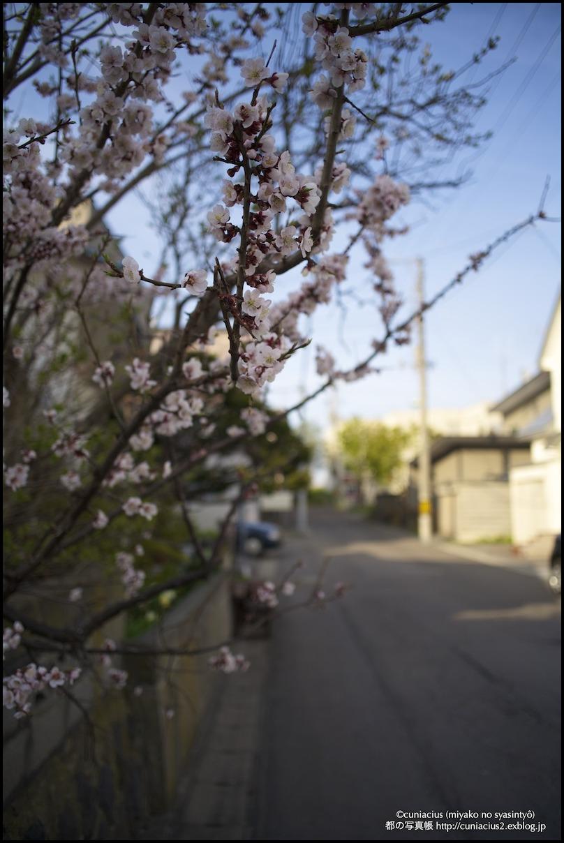 小樽、相生町の梅_f0042194_159426.jpg