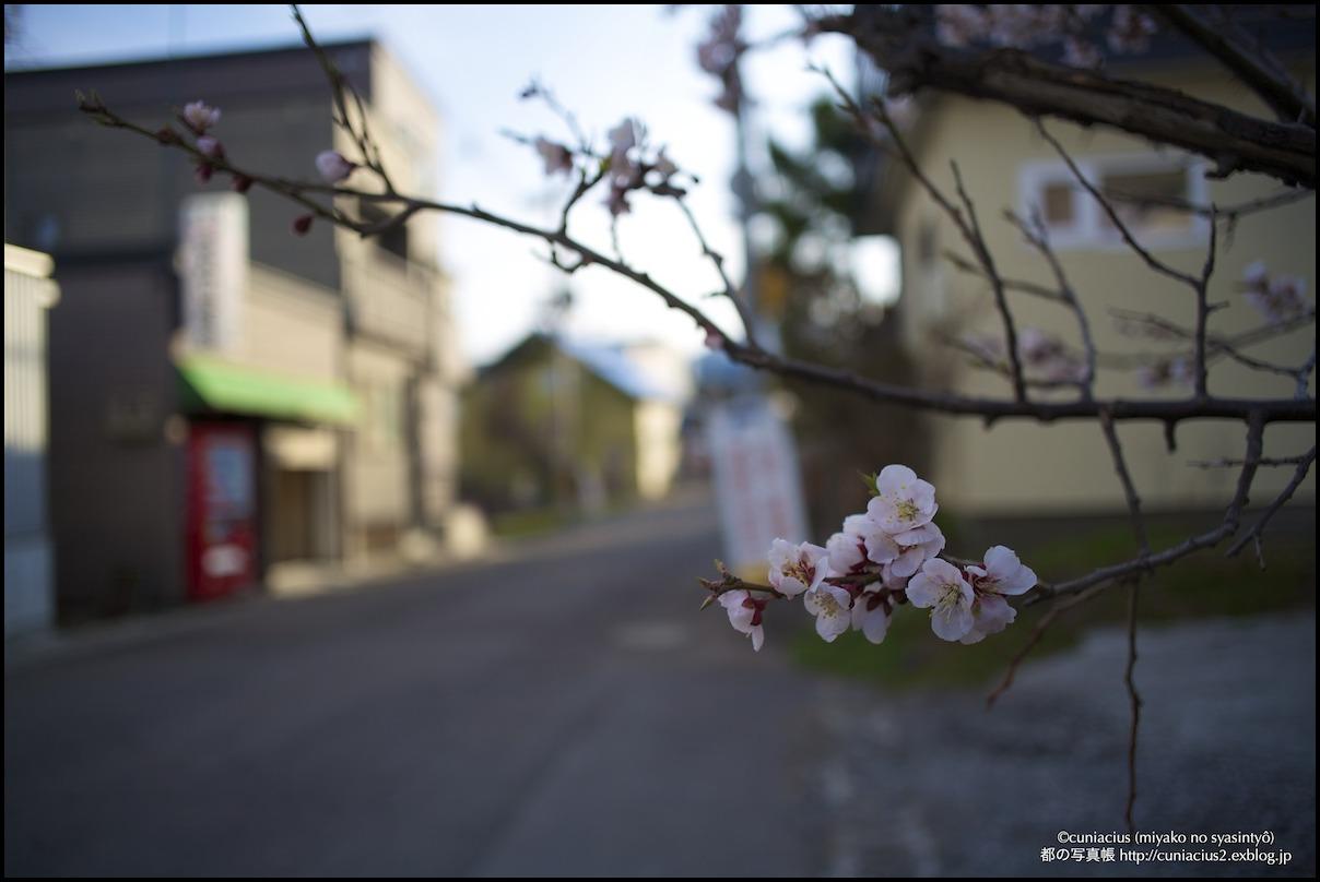 小樽、相生町の梅_f0042194_1595774.jpg