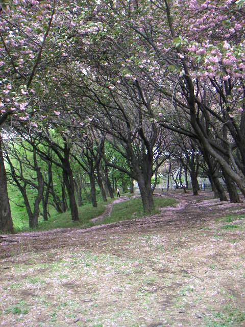 桜餅\'11東_a0056406_17594766.jpg