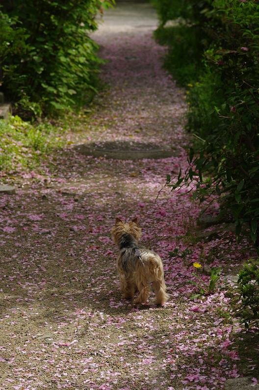 哲学の道をワンコと散歩..._f0152550_18532183.jpg