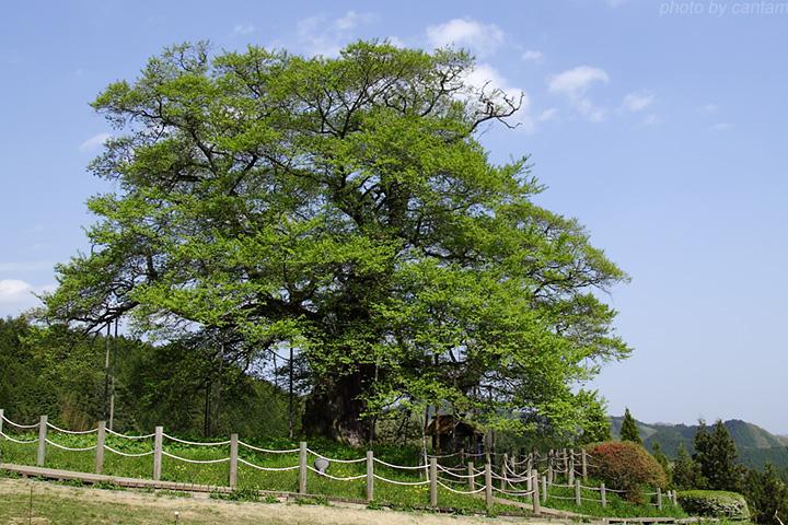 新緑の醍醐桜_f0091955_6431459.jpg