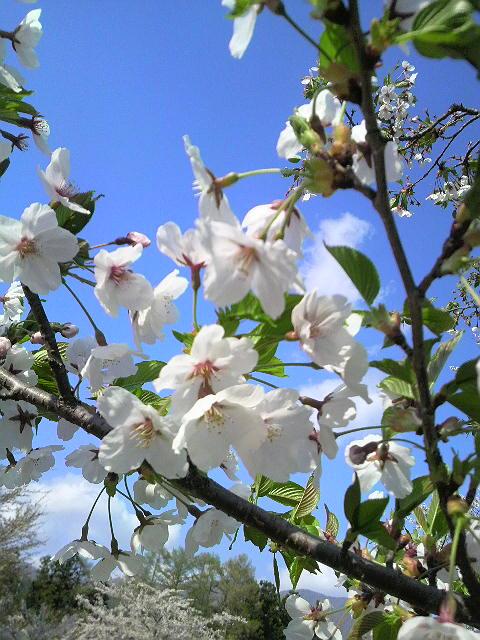 桜を見に。_d0180005_18115122.jpg