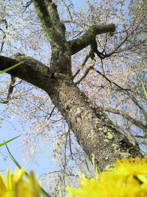 桜を見に。_d0180005_18123065.jpg
