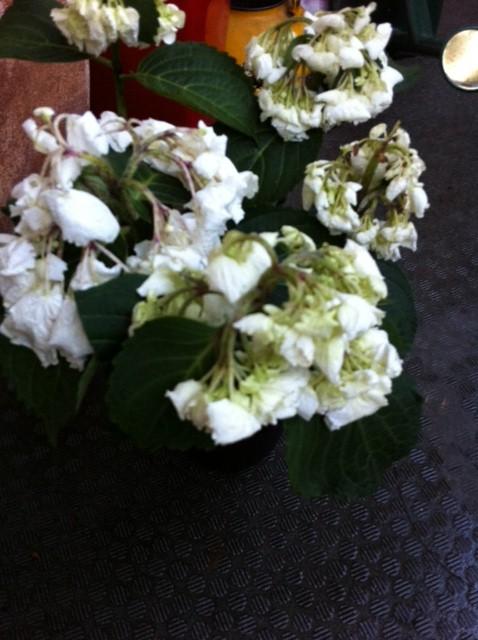 白い紫陽花ピンクの紫陽花_c0193017_20432777.jpg