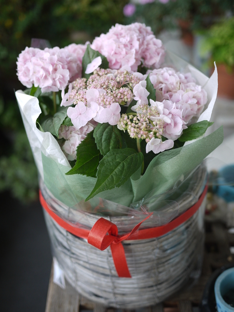 白い紫陽花ピンクの紫陽花_c0193017_20553651.jpg