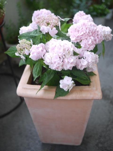 白い紫陽花ピンクの紫陽花_c0193017_20583181.jpg