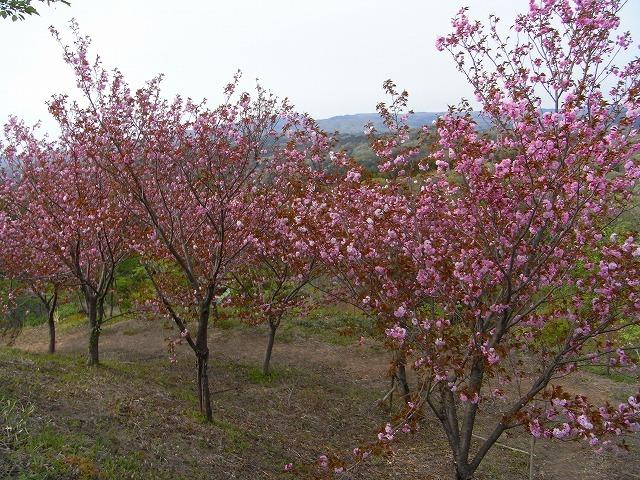 倶梨伽羅八重桜祭り_c0194417_1430294.jpg