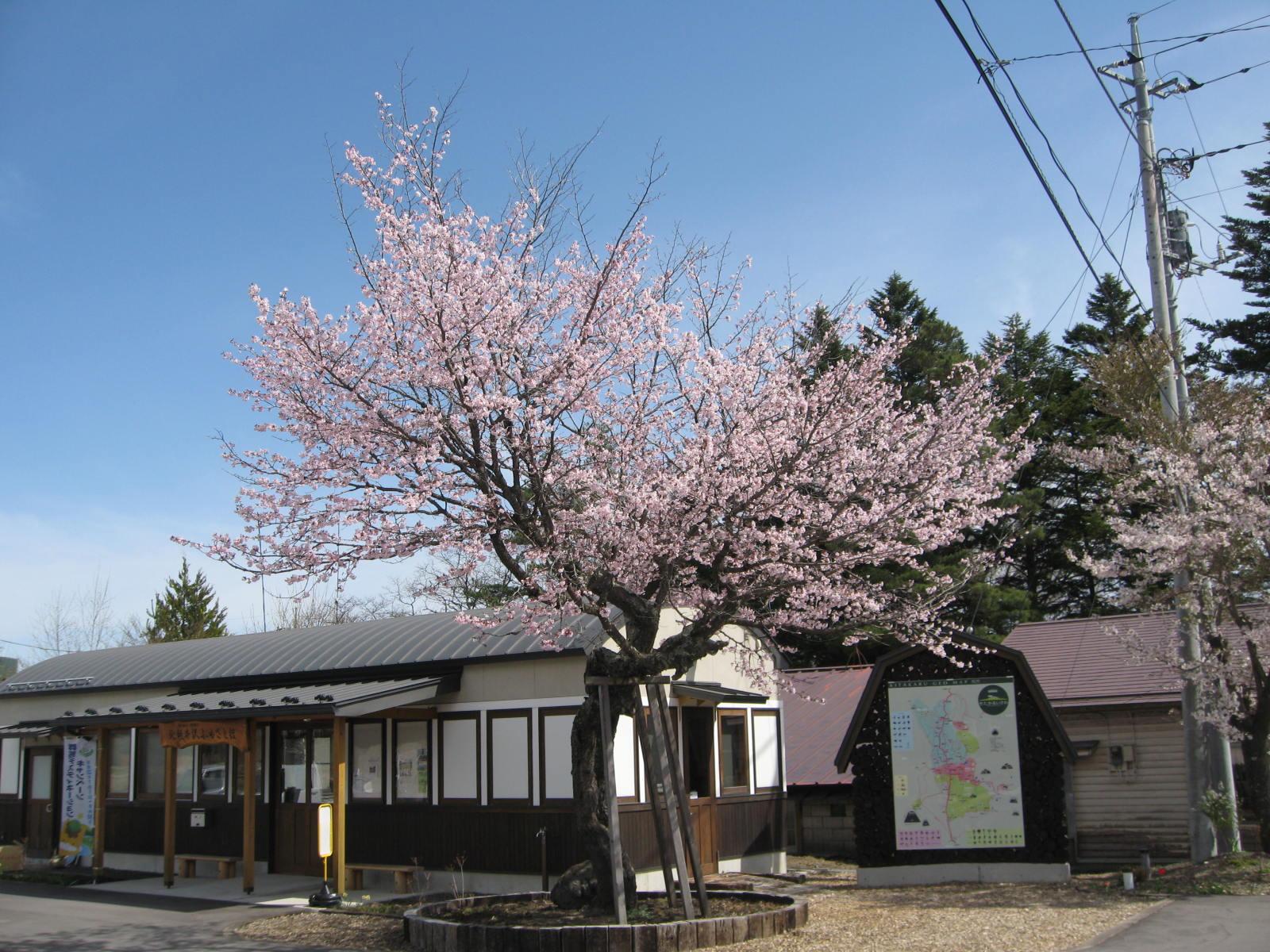 桜が咲いた!_f0146620_23373682.jpg