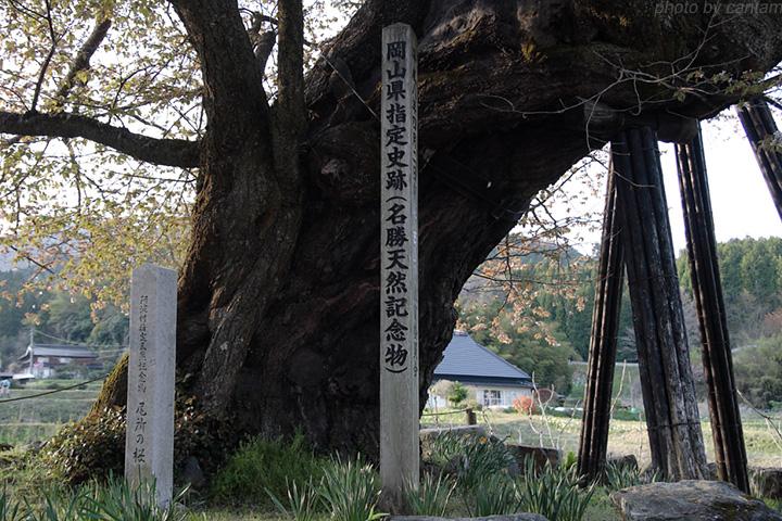 津山市阿波村 尾所の桜_f0091955_10313023.jpg