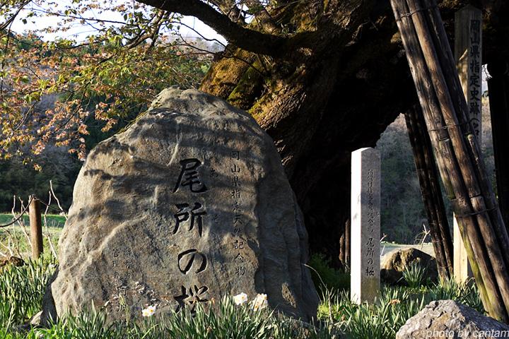 津山市阿波村 尾所の桜_f0091955_10313049.jpg