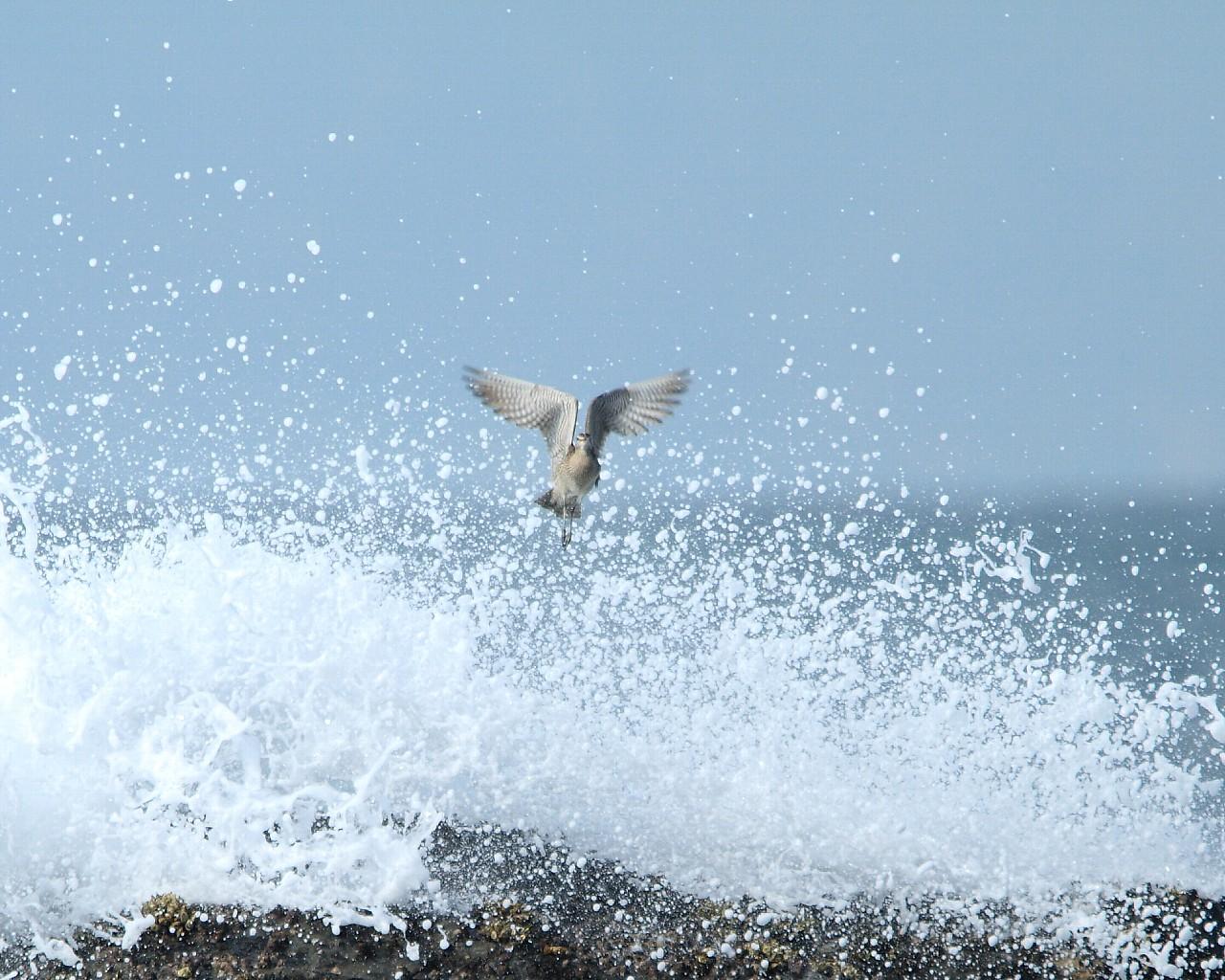 チュウシャクシギと波(涼しげで迫力ある野鳥の壁紙)_f0105570_21337100.jpg