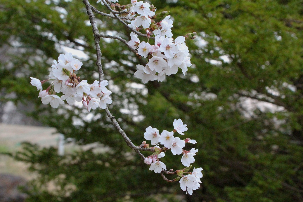 さくらさくら            ~長野・佐久・美笹湖畔~_a0107574_785276.jpg