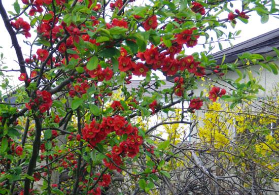 木瓜の花と雪ヤナギなど_a0136293_18504346.jpg