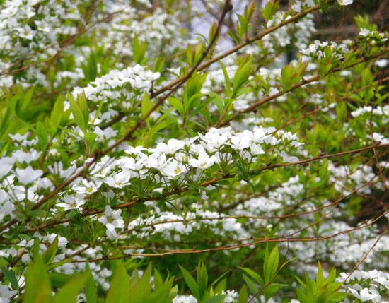 木瓜の花と雪ヤナギなど_a0136293_18515268.jpg