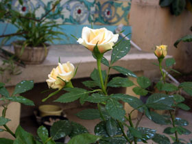 2011年5月のうちの庭_a0155362_16342576.jpg
