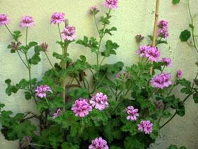 2011年5月のうちの庭_a0155362_16391774.jpg