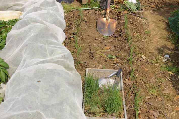 東大社宮司さんからいただいたネギの苗を植え付け(5・9)_c0014967_17513610.jpg