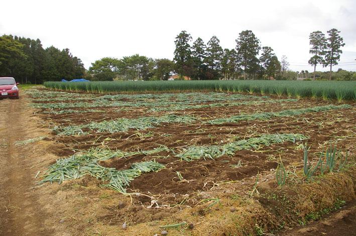 東大社宮司さんからいただいたネギの苗を植え付け(5・9)_c0014967_18111814.jpg