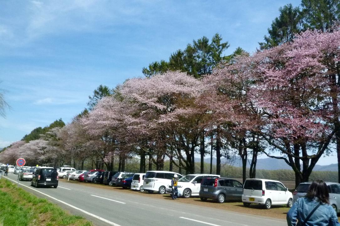 1543)①「静内 二十間道路桜並木 五分咲き 2011年5月11日(水) 晴」_f0126829_23463551.jpg
