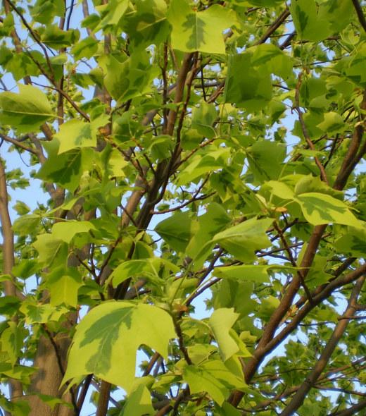 ユリノキ、五月の風にそよぐ!_f0139333_22311988.jpg