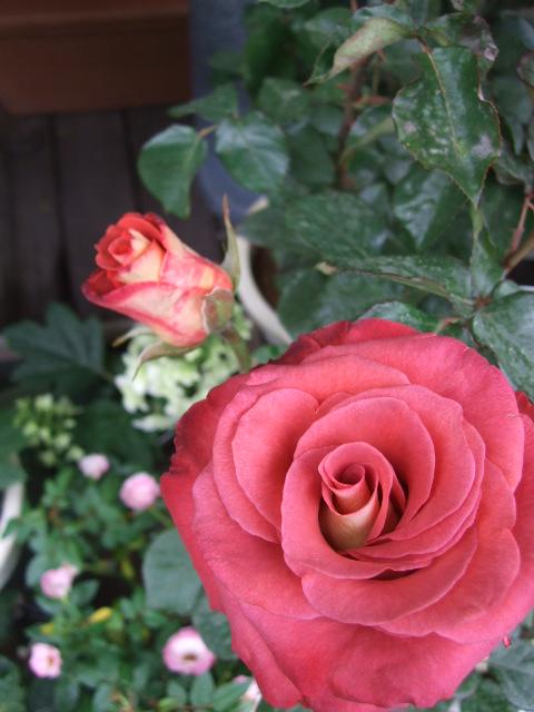 オークリーフ(バラの季節です)_f0049672_17115497.jpg