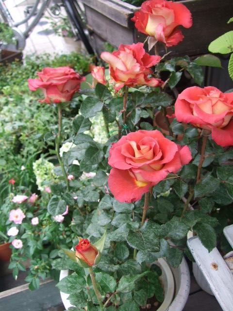オークリーフ(バラの季節です)_f0049672_1712123.jpg
