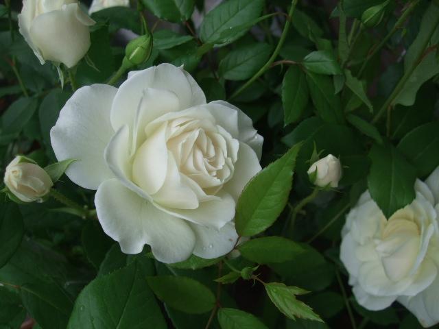 オークリーフ(バラの季節です)_f0049672_17121514.jpg